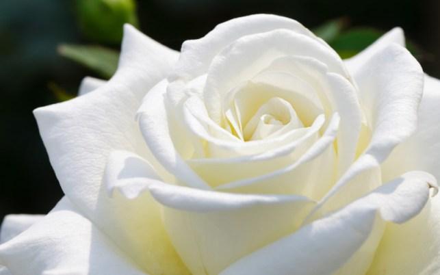 gambar wallpaper bunga mawar putih