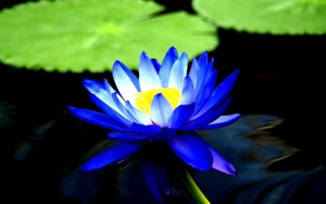 wallpapers gambar bunga teratai biru indah