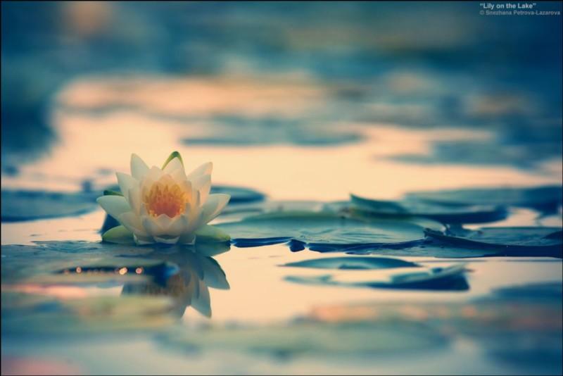 wallpaper gambar bunga teratai indah