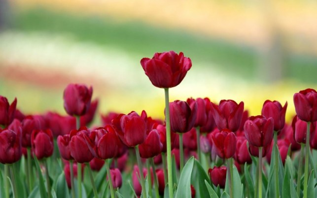 wallpaper gambar bunga tulip photography