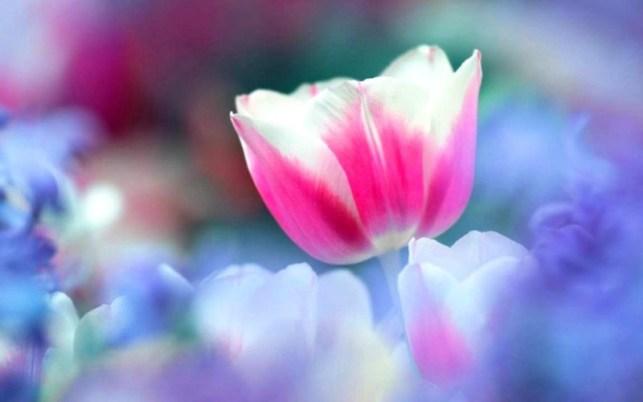wallpaper gambar bunga tulip pink