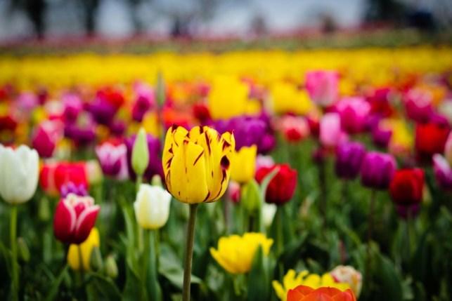 wallpaper gambar bunga tulip cantik