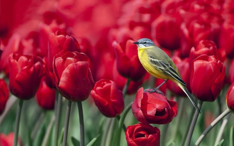 wallpaper gambar bunga tulip