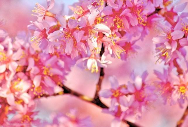 wallpaper gambar pohon bunga sakura