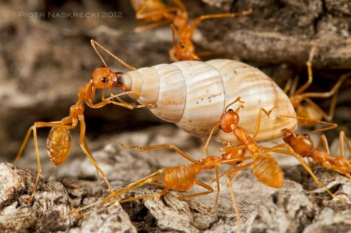 makanan semut rangrang agar cepat bertelur