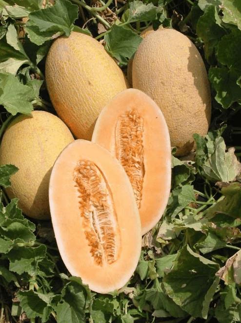 hami melon pictures