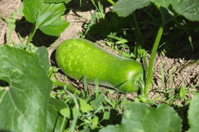 winter melon pictures