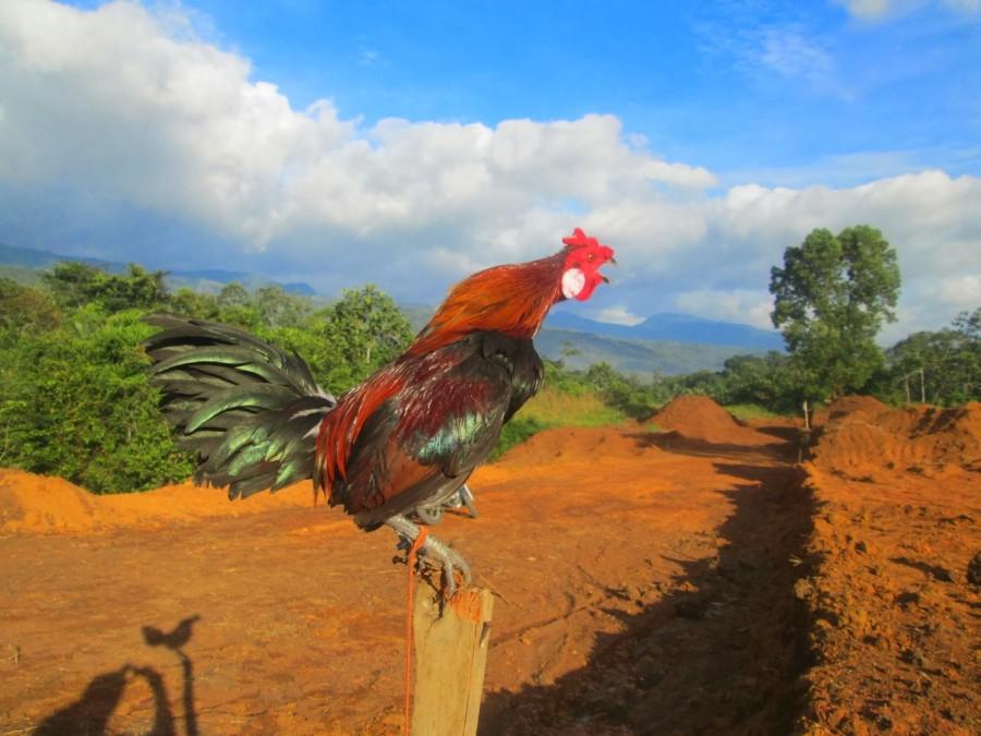 Ayam Jago 18 Ciri Ayam Jago Yang Bagus Dan Sehat