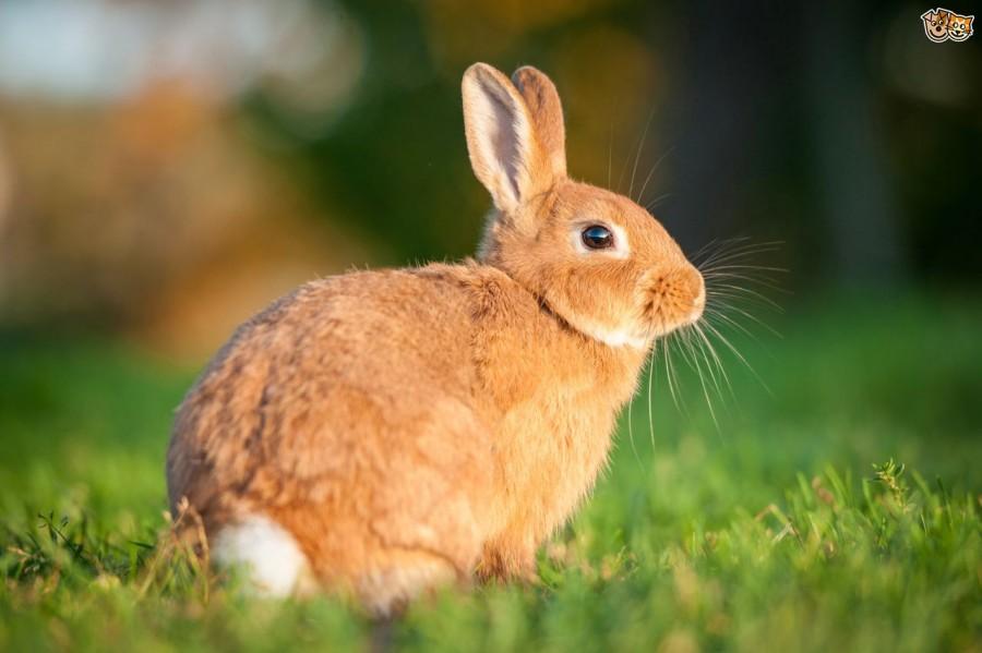 manfaat daging kelinci untuk kesehatan