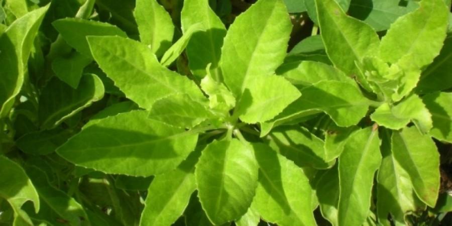 Manfaat daun beluntas