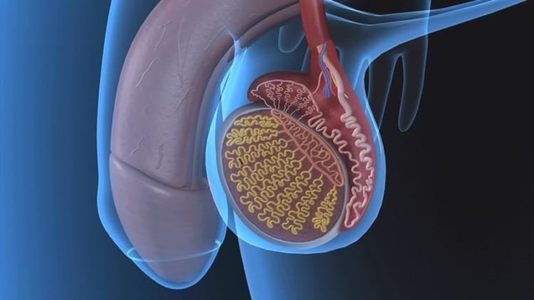 organ reproduksi pria