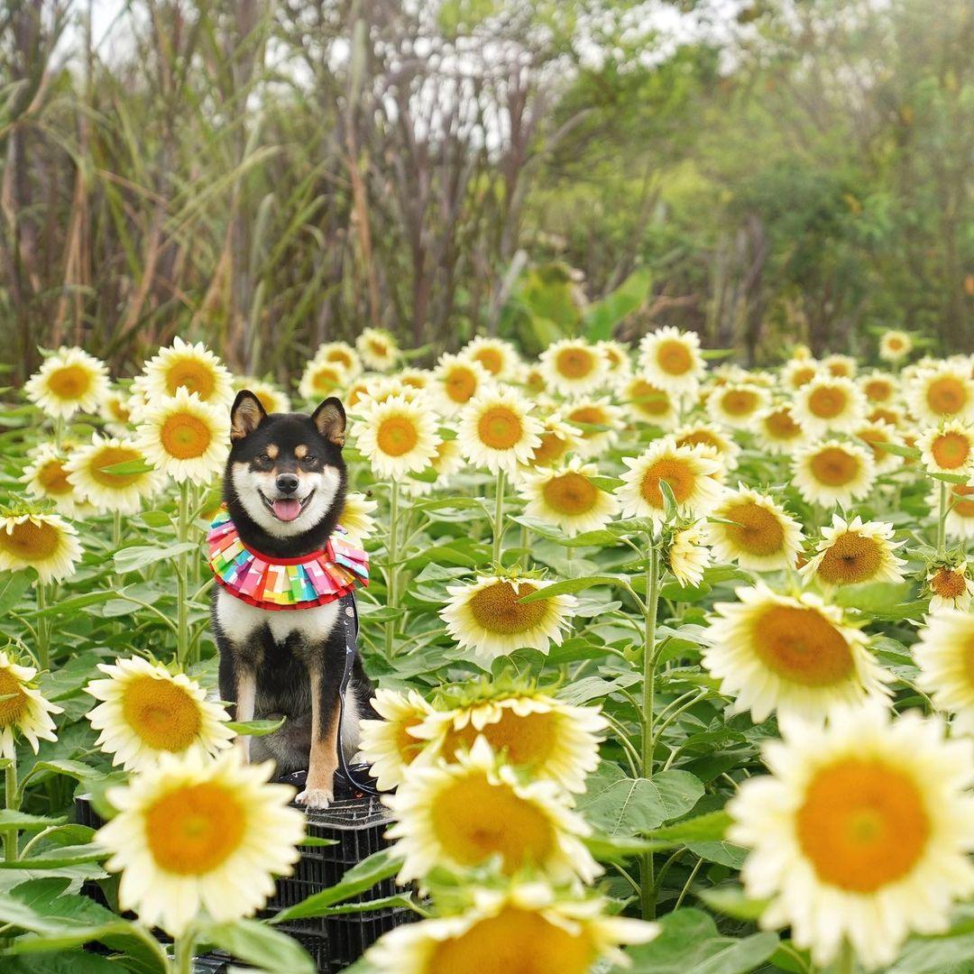 本地農夫種植的超美向日葵,而家仲有香檳向日葵,略帶奶白的淡黃又有另一番日系味道~(圖片授權轉載:IG@shiba.tane)