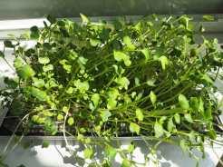 growing-microgreens2