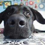 Portugese hondjes