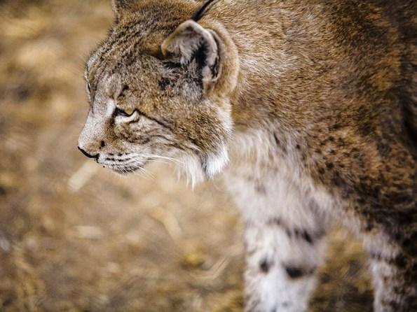 Iberische Lynx | Saudades de Portugal