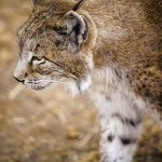 Zeldzame lynx vergiftigd in Portugal