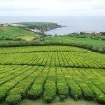 Theeplantages op de Azoren