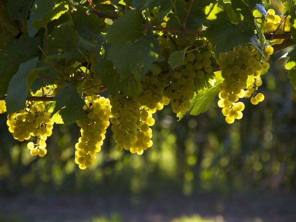 Vinho Verde | Saudades de Portugal