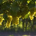 Vinho Verde – Groene wijn