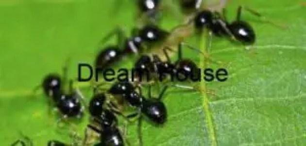 ملكة النمل الاسود