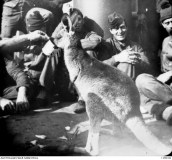 AT SEA. A KANGAROO BEING GIVEN A DRINK ON BOARD A SHIP CARRYING AUSTRALIAN TROOPS BOUND FOR THE SOUTH AFRICAN WAR 1899-1902