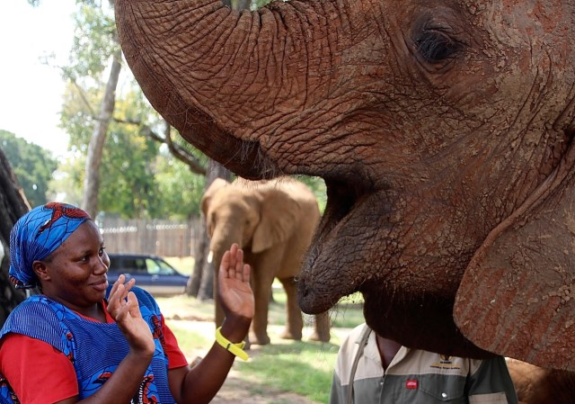 This elephant displayed little decorum when asking Adelina for more of her ciabatta bread!