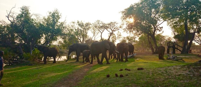 The elephant herd at sunset.