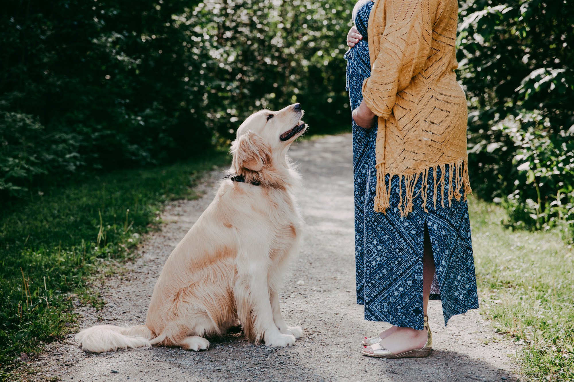 Maternity session with golden retriever dog in Stowe, Vermont