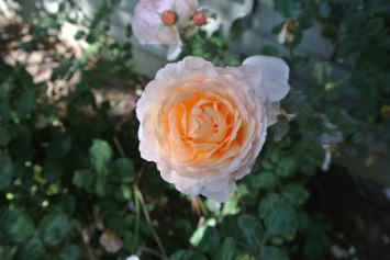 A Rose!!