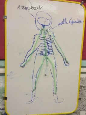 première représentation du système nerveux (travail de groupe)