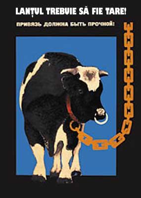 vaca-in-lant