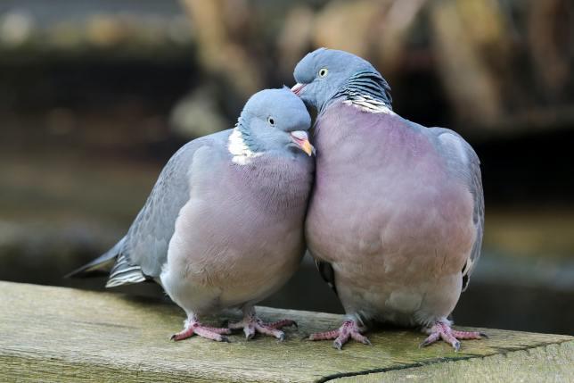 Wood pigeons in love