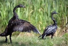 oiled birds from Kalamazoo spill