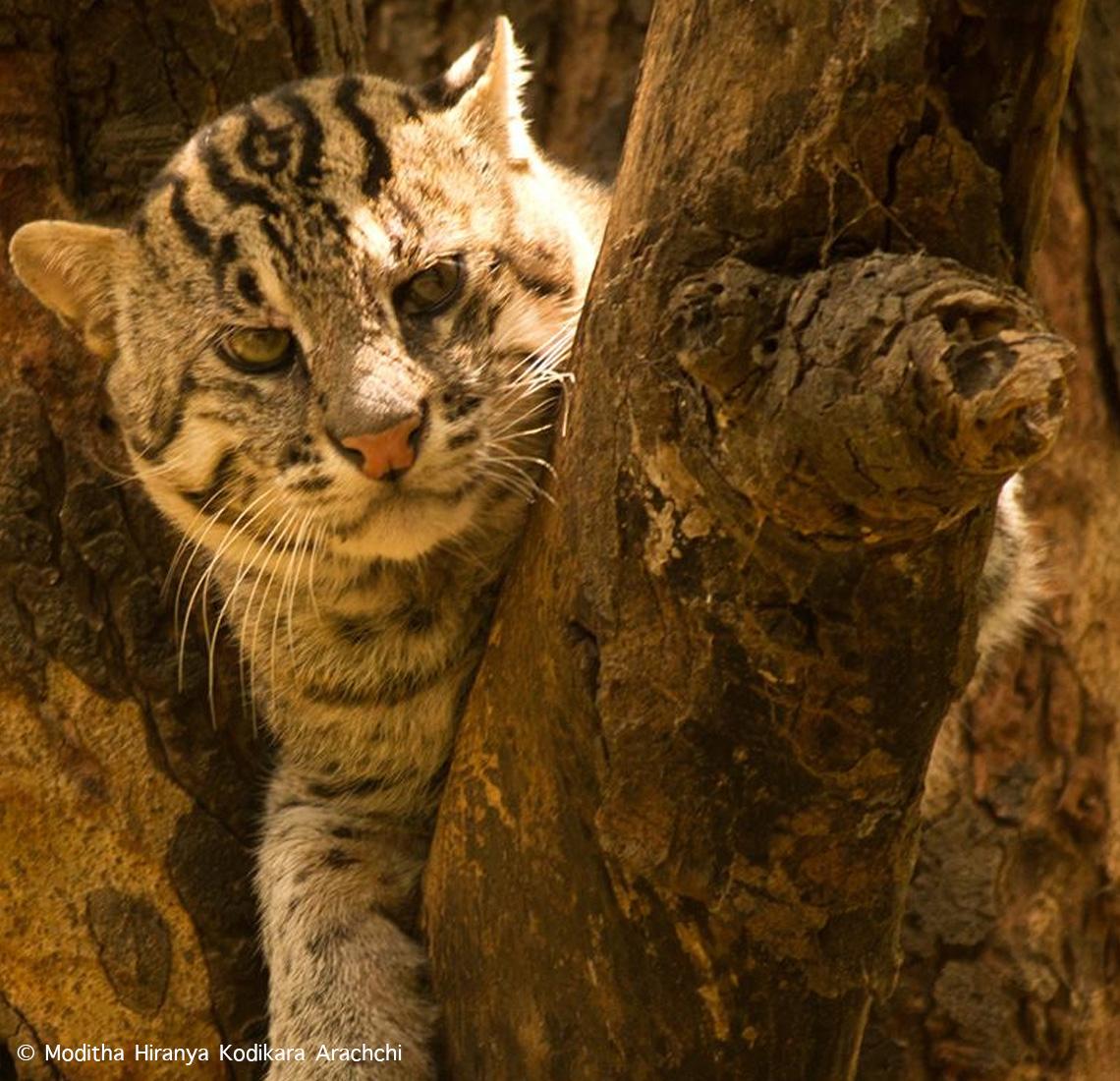 Searching-for-fishing-cats_Moditha-Hiranya-Kodikara-Arachchi
