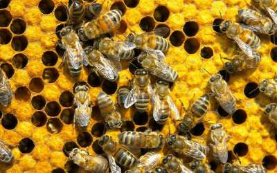 Bees: Pesticide restrictionss must be extended to wheat – new Friends of the Earth report
