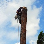 Pine Tree Removal Loxahatchee - SaveMore Tree Service
