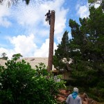 Tree-Removal-Tall-Pine-Tree-Loxahatchee-Savemore-Tree-Service_3