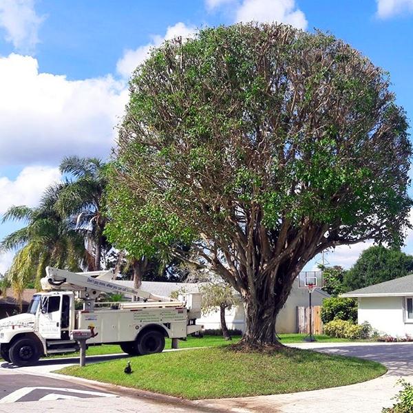 Ficus-Tree-Trimming-Pruning-Wellington-Savemore-Tree-Service_3