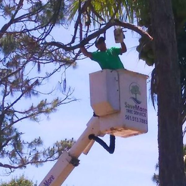 Tree Removal in Royal Palm Beach, FL - Savemore Tree Service