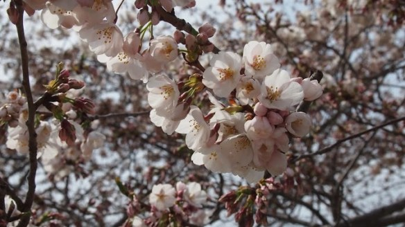 Close up of the blossoms - I'd estimate they were at about 80% when we visited