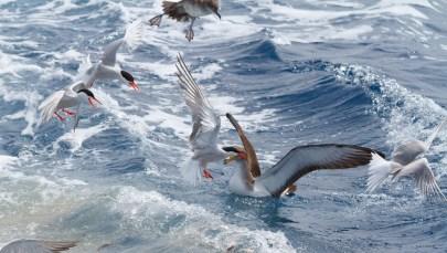 Cory's Shearwater & Audouin's Gull in Mediterranean