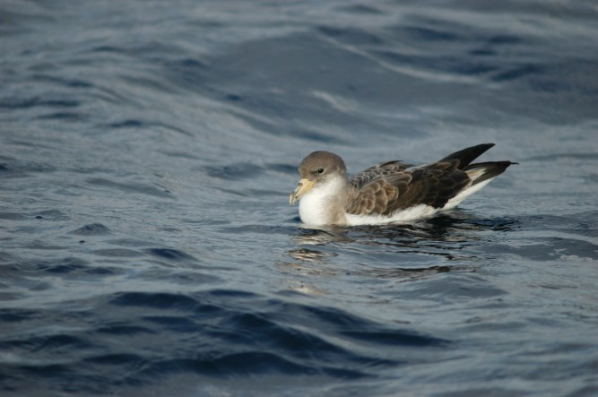 Cory's Shearwater is one of the species incidentally caught in fishing lines © Pedro Geraldes