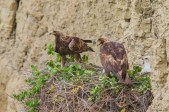 This pair of golden eagles has been nesting adjacent to the proposed racetrack for many years. Golden eagles are particularly intolerant of sensory disturbance and human activity near their nests.
