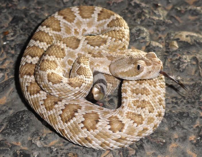 brake for snakes, road kill, snake on road