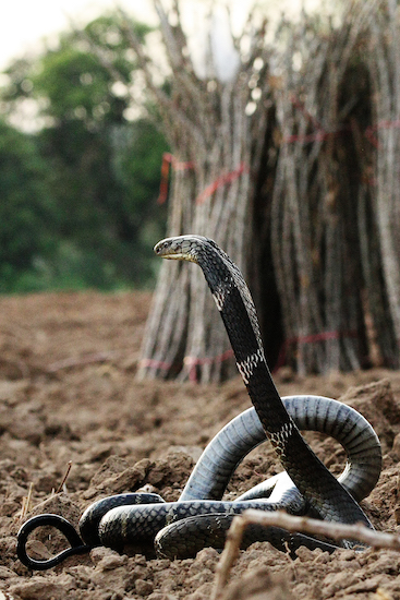 thailand, save the snakes, king cobra, snake
