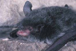 large-footed Myotis