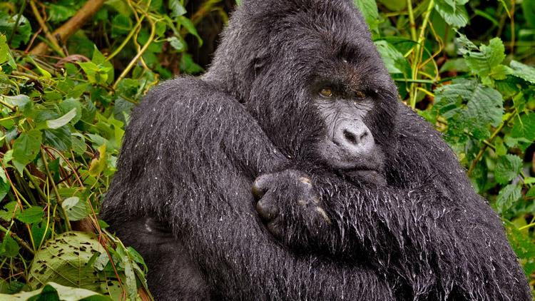 Caption Congo's Virunga National Park / Emily Scott Pottruck / Humba is the dominant silverback of one of the park's gorilla families.