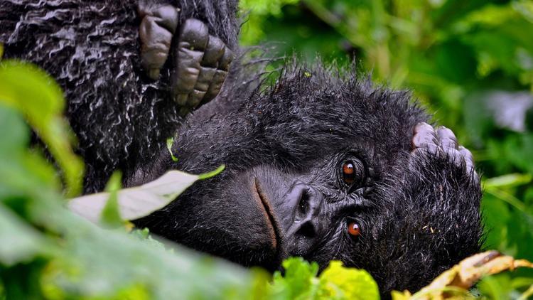 Caption Congo's Virunga National Park / Emily Scott Pottruck / A female gorilla rests during a rainstorm in Congo's Virunga National Park.