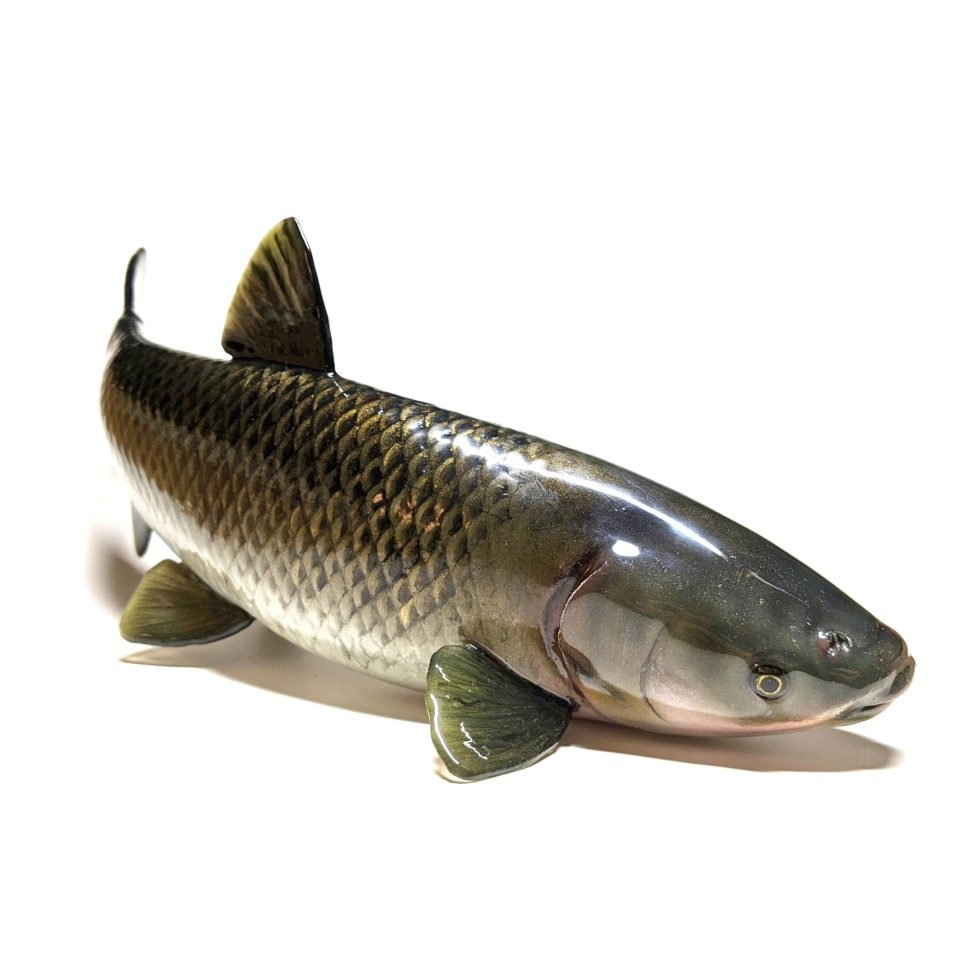 Hand painted, 3D printed, Grass Carp model