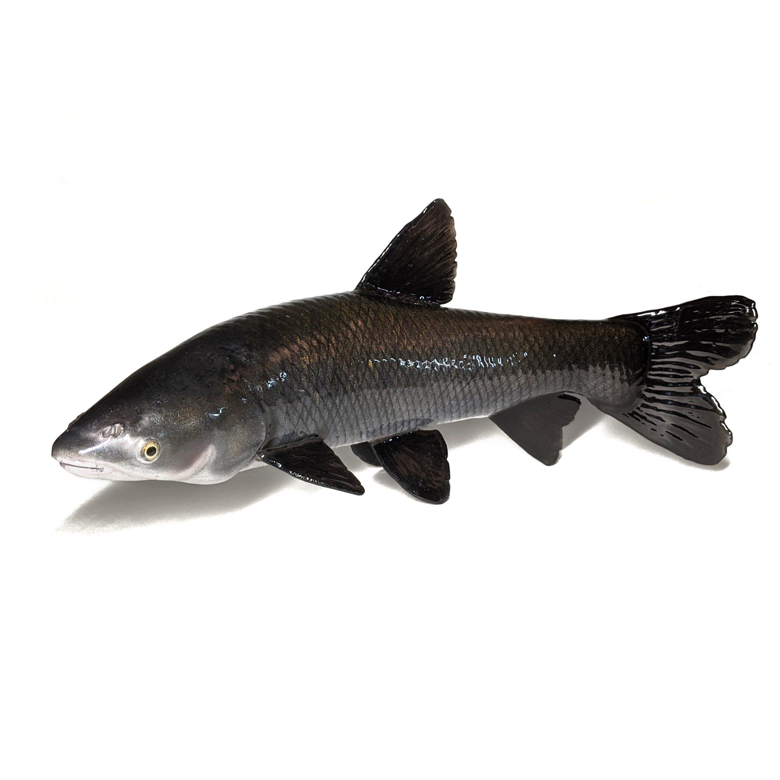 Black Carp (Mylopharyngodon Piceus) Model